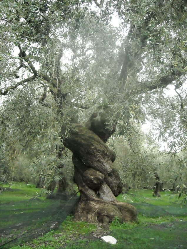ancient_olive_tree_in_pelion_greece