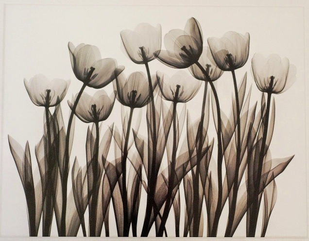 Tulip Exposures, J. Wehtje X-ray Black and White Flowers 16x20 Print 1